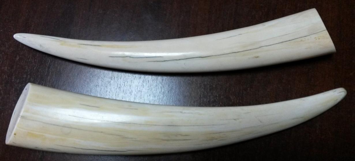 клыки моржа