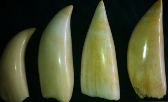 зубы кашалота